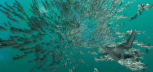 Deep Ocean muir attacks baitball